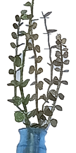 5012-Leaves-eucalyptus